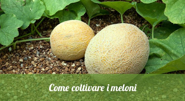 coltivare il melone