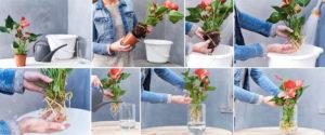 Come coltivare l'Anthurium in idrocoltura