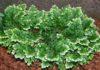 Come coltivare la selaginella