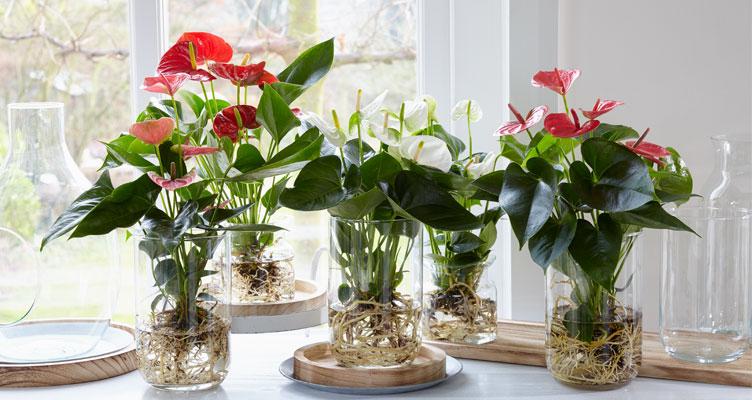 coltivare l'Anthurium in acqua