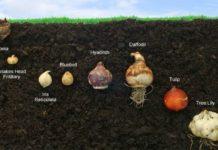Come fare la coltivazione dei bulbi