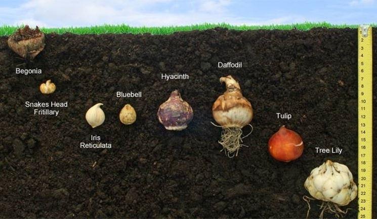 coltivazione dei bulbi