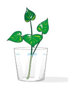 Come fare le talee radicate in acqua 2