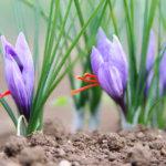 Come coltivare lo Zafferano