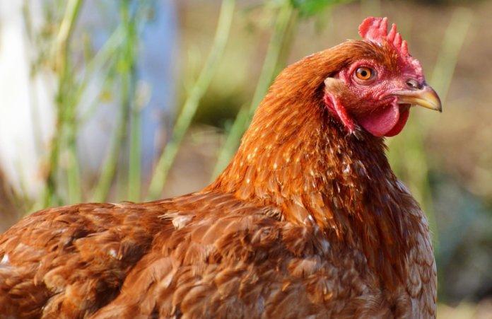 Come proteggere le galline dai parassiti