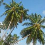 Come riconoscere il punteruolo rosso delle palme e liberarsene
