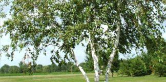 come sfruttare le proprietà della betulla