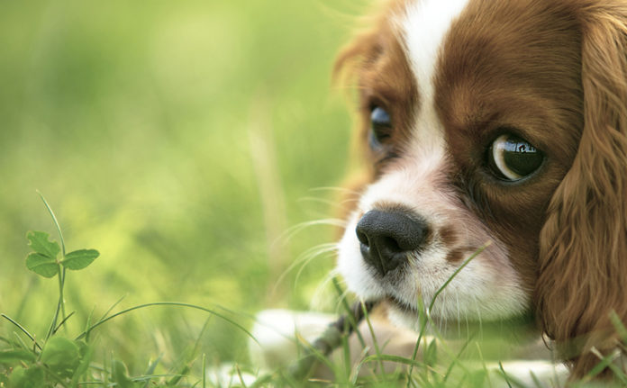 disturbi agli occhi nel cane