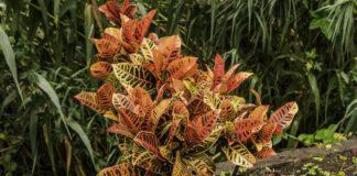 Come coltivare il Codiaeum variegatum