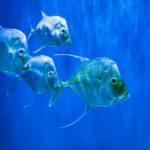 Silver Lookdown fish in aquarium
